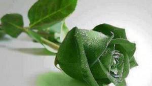 zelena ruza
